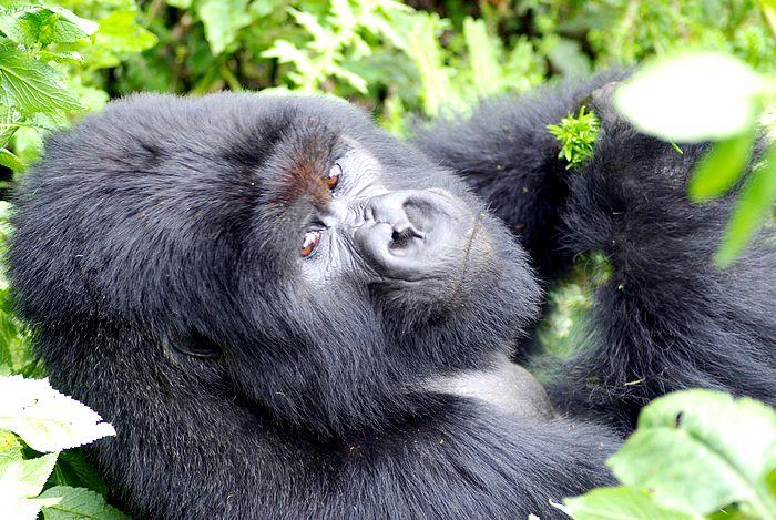 Gorila, Uganda